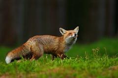 Laufender roter Fox, Vulpes Vulpes, am grünen Wald stockfotografie