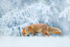 Laufender roter Fox-, Vulpesvulpes auf der grasartigen Wiese mit Raureif und Schnee Rote Verlegenheit in Winterzustand Szene der  stockbild