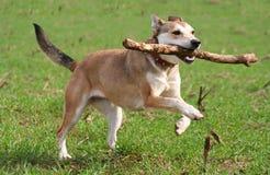 Laufender Schäferhund-Hund Lizenzfreies Stockfoto