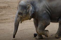 Laufender Schätzchenelefant Stockfoto