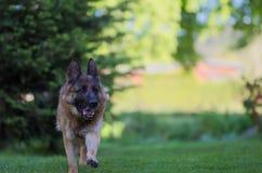 Laufender schöner junger Schäferhund Dog Close Up Browns lizenzfreie stockbilder