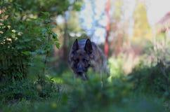 Laufender schöner junger Schäferhund Dog Close Up Browns stockfoto