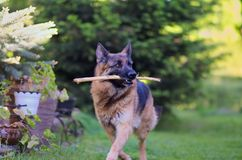 Laufender schöner junger Schäferhund Dog Close Up Browns stockbilder