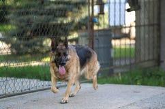 Laufender schöner junger Schäferhund Dog Close Up Browns lizenzfreies stockfoto