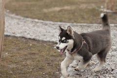 Laufender Schlittenhund Stockfoto