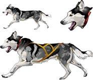 Laufender Schlittenhund von Zucht des sibirischen Huskys Stockfoto