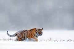Laufender Tiger mit schneebedecktem Gesicht Tiger in der wilden Winternatur Amur-Tiger, der in den Schnee läuft Szene der Aktions stockfoto