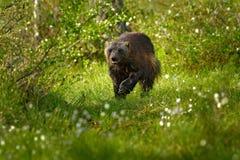 Laufender Vielfrass im finnischen taiga Szene der wild lebenden Tiere von der Natur Seltenes Tier von nördlich Europa Wilder Viel stockfotos