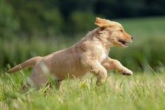 Laufender Welpe des goldenen Apportierhunds Lizenzfreie Stockfotos