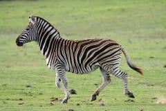 Laufender wilder Zebra Stockbild
