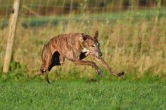Laufender Windhund Stockfotos