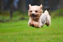 Laufender Yorkshire-Terrier Lizenzfreie Stockfotos
