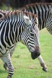 Laufender Zebra Stockfotografie