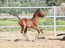 Laufendes arabisches kleines Fohlen israel Lizenzfreies Stockfoto