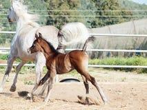 Laufendes arabisches kleines Fohlen mit Mutter Stockfoto