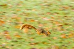 Laufendes Eichhörnchen Stockfotos