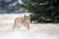 Laufendes eurasisches Luchsjunges auf schneebedecktem Boden im kalten Winter Lizenzfreies Stockbild