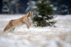 Laufendes eurasisches Luchsjunges auf schneebedecktem Boden im kalten Winter Lizenzfreie Stockfotografie