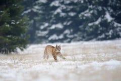 Laufendes eurasisches Luchsjunges auf schneebedecktem Boden mit Wald im Hintergrund Lizenzfreie Stockfotos