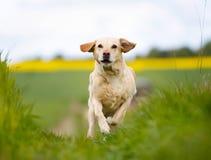 Laufendes gelbes Labrador Stockbilder