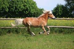 Laufendes haflinger Pferd auf der Koppel stockfotografie