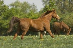 Laufendes Kastaniepferd Lizenzfreie Stockfotografie