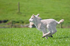 Laufendes Lamm Lizenzfreies Stockbild