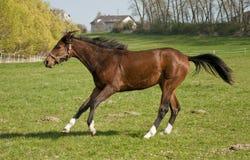 Laufendes Pferd Stockbild