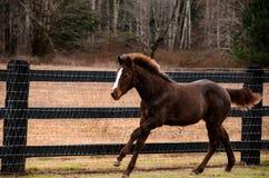 Laufendes Pferd auf dem Gebiet lizenzfreie stockbilder