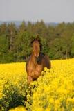 Laufendes Pferd auf dem Rapsgebiet Stockbilder