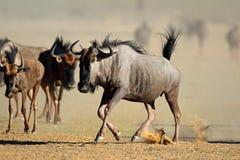 Laufendes Streifengnu - Kalahari-Wüste Stockfotos