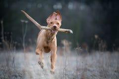 Laufendes verrücktes Porträt des vizsla Jägerhundes lizenzfreies stockbild
