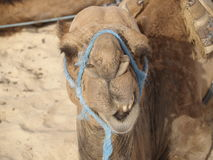 Laugh. Ing camel Royalty Free Stock Image
