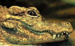 Laugh crocodile stock photo