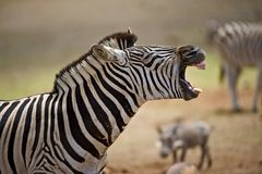 laugh zebra Royaltyfria Bilder