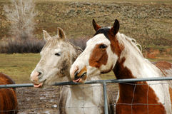 Laughing. Two funny horses in a rainy day Stock Photos