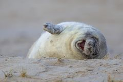 Laughing baby seal. Laughing baby Grey seal (Halichoerus grypus) in sand on beach of Helgoland, Germany stock photography
