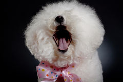 Laughing bichon frise. Picture of a cute bichon frise wearing a big pink ribbon and laughing for the camera Royalty Free Stock Image