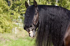 Laughing Black Frisian Horse Royalty Free Stock Photo