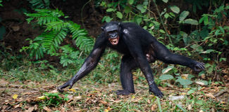 The laughing Bonobo Stock Photos