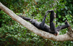 The laughing Bonobo Stock Images