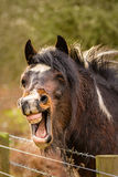 Laughing Brown Horse. A funny looking brown horse that looks to be laughing with its mouth wide open and teeth showing royalty free stock images