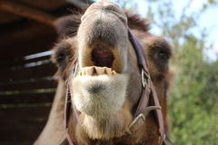 Laughing camel. A close up of a camel's head, yawning stock photo