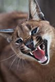 Laughing Caracal. Close up of a Caracal in a game reserve, South Africa Royalty Free Stock Photography