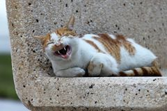Laughing Cat at Al-Khobar Corniche, Saudi Arabia. This beautiful cat was shot during my morning walk at Khobar Corniche, Saudi Arabia. This photograph is Stock Photos
