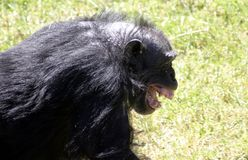 Laughing Chimp Royalty Free Stock Images