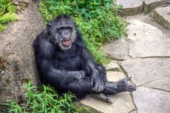 Laughing chimpanzee leaning on rock Stock Photography