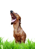Laughing dog. Singing or laughing dog  in the green grass (isolated Royalty Free Stock Images