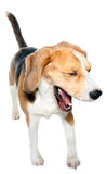 Laughing Dog Royalty Free Stock Images