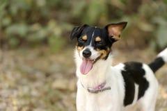 Laughing Dog Stock Photo